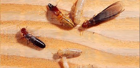 Termite Control Charleston SC