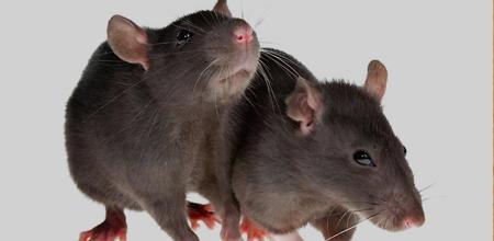 Rodent Control Charleston SC